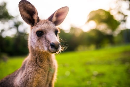 Photo of How Did the Kangaroo Reach Australia After the Flood?