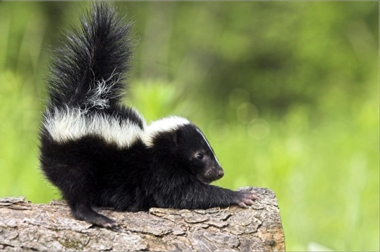 Photo of Watch: This is what Happens when you Try Catch a Skunk