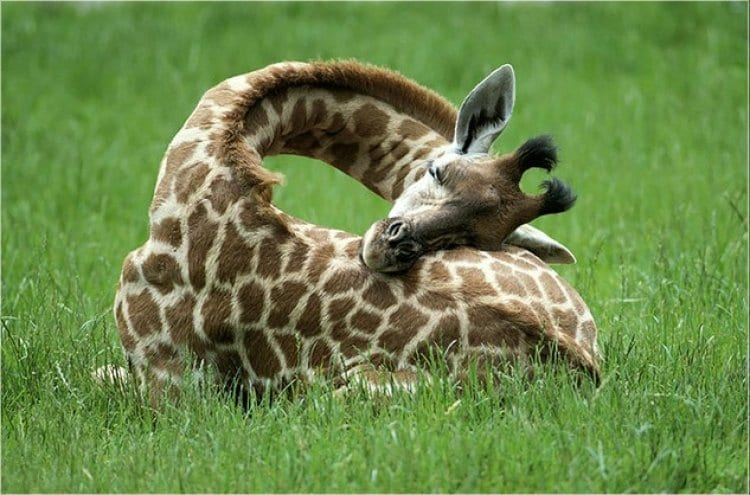 Photo of How do Giraffes find a Comfortable Sleeping Position?