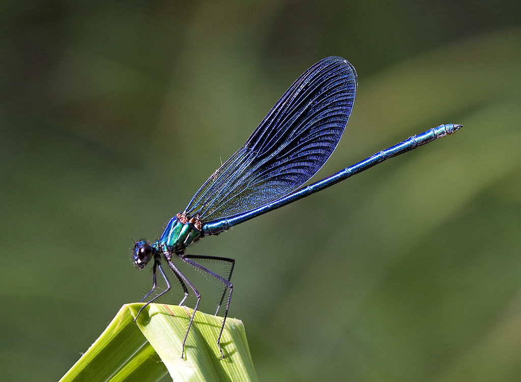Photo of Environment and Conservation: Rare Blue Damselflies and Crabs return to the Kishon River