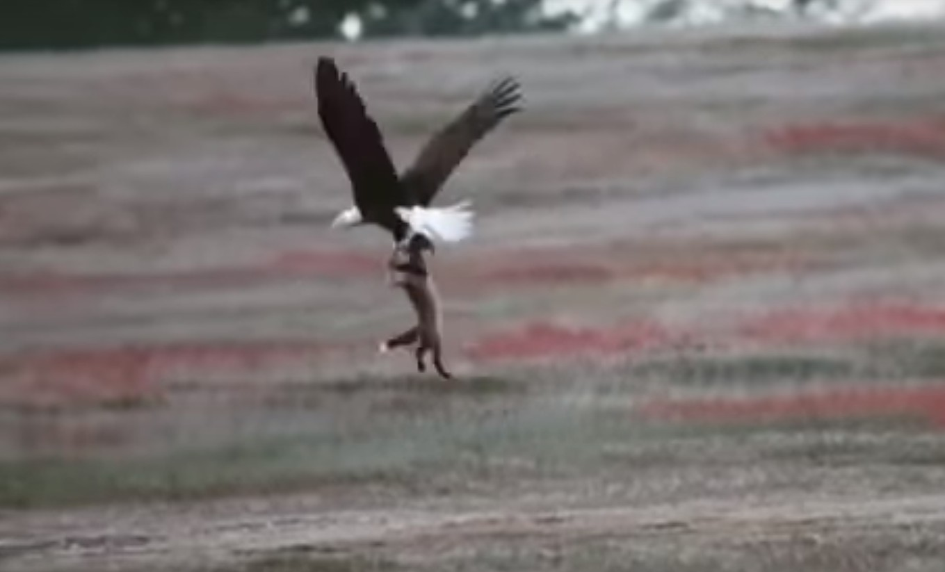 Photo of Watch: Eagle Attempts to Steal Rabbit from Fox in Mid-Air