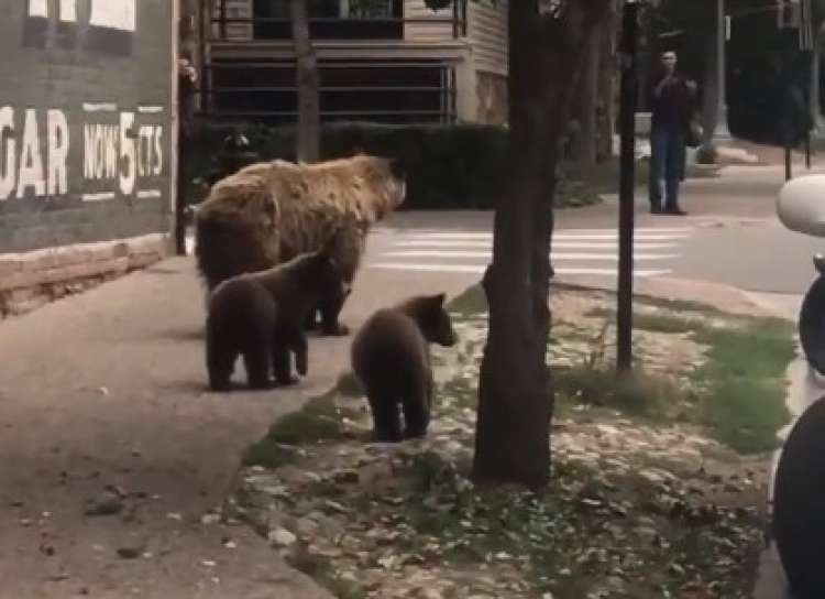 Photo of Watch: Bears Roam Freely Through the Streets