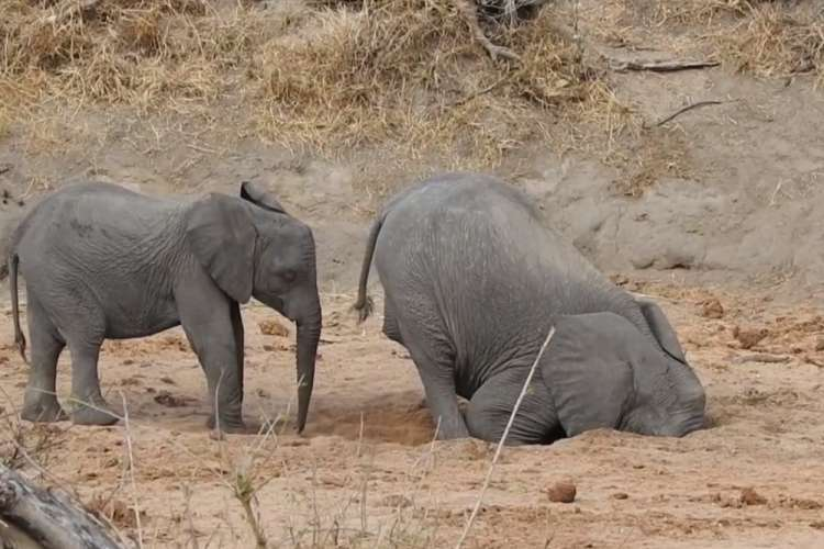 Photo of Watch: Thirsty Elephant Digs for Water in a Dry Riverbed