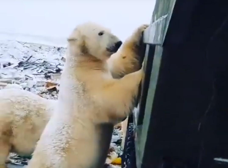 Photo of Polar Bears Invade Russian Town – Watch