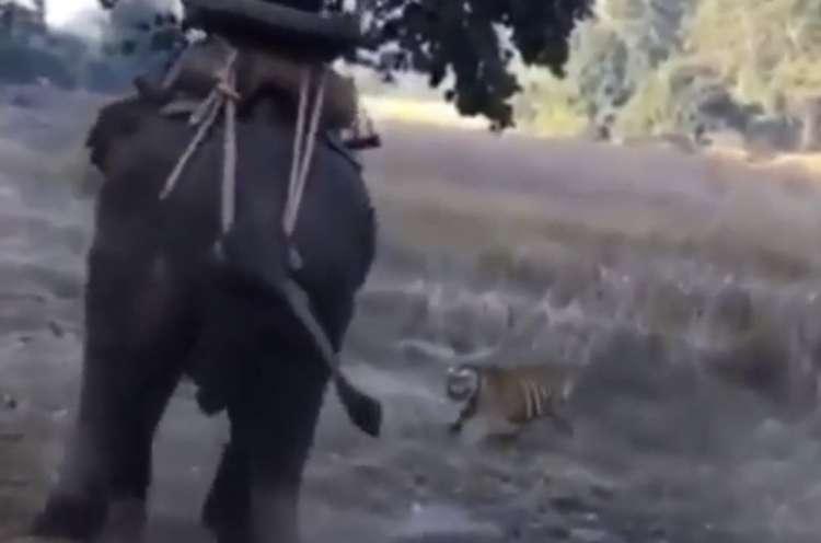Photo of Watch: Tiger Surprises a Man Riding an Elephant